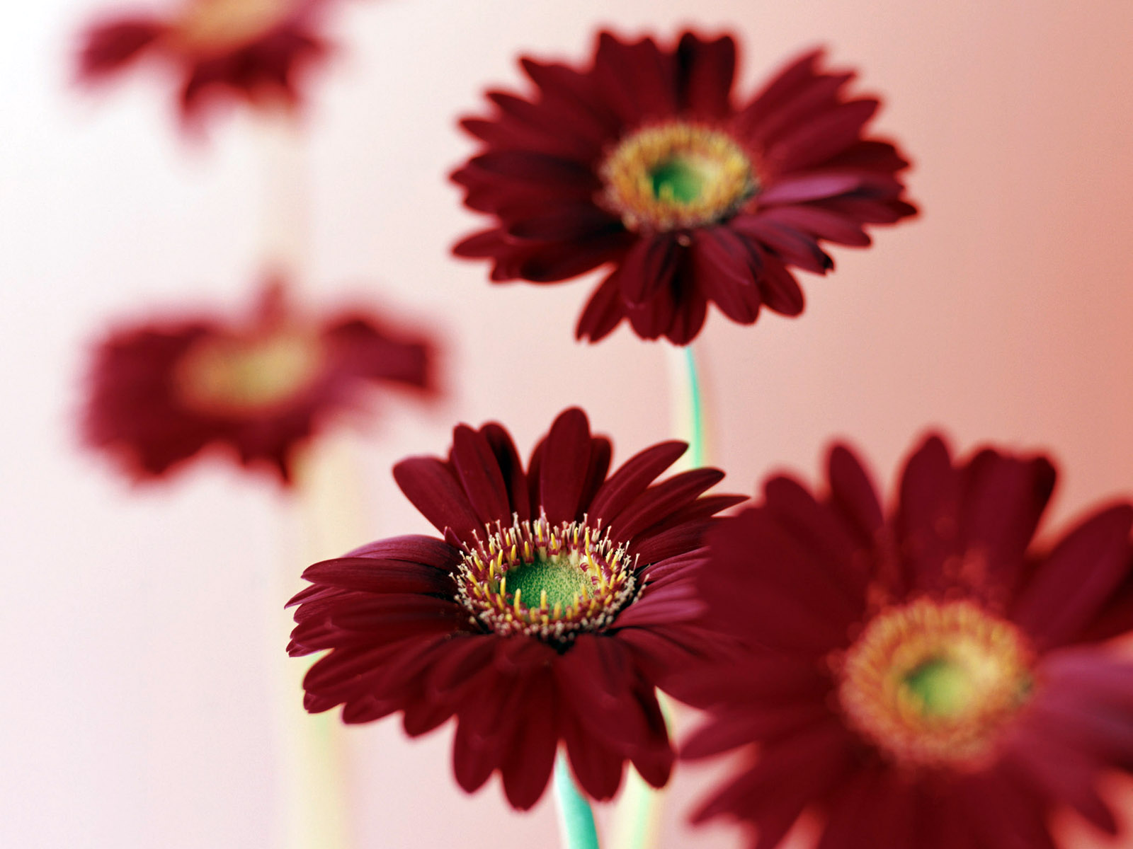 pictures gerberas wine color flowers