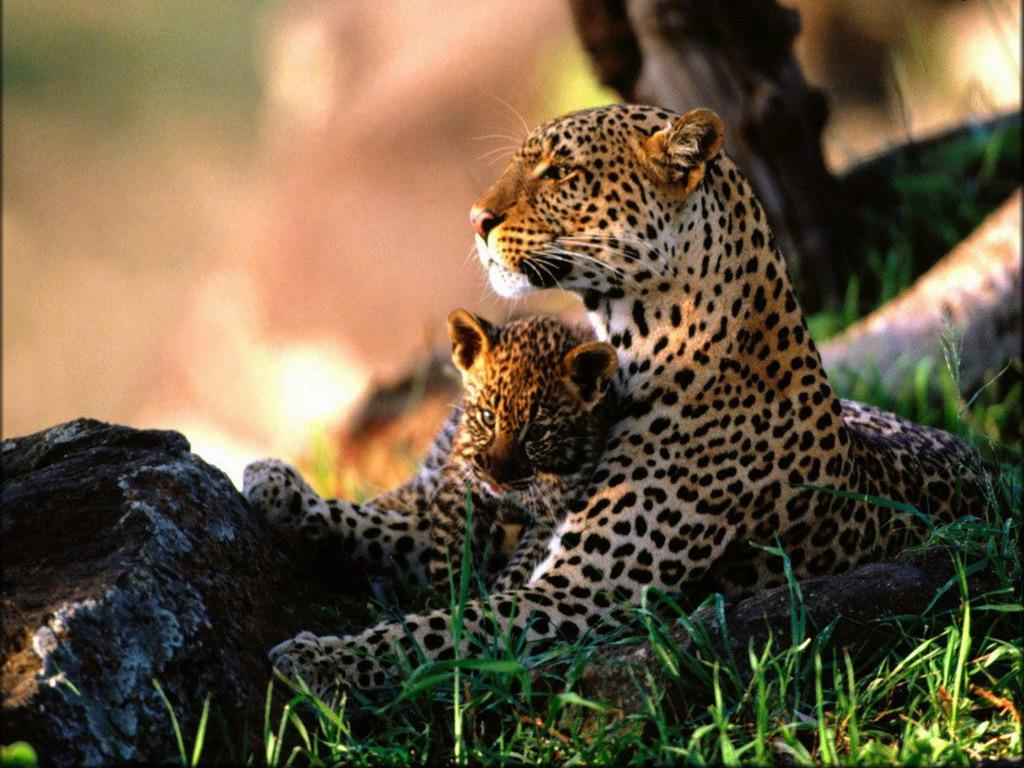 von Leopard Groe Katze Tiere
