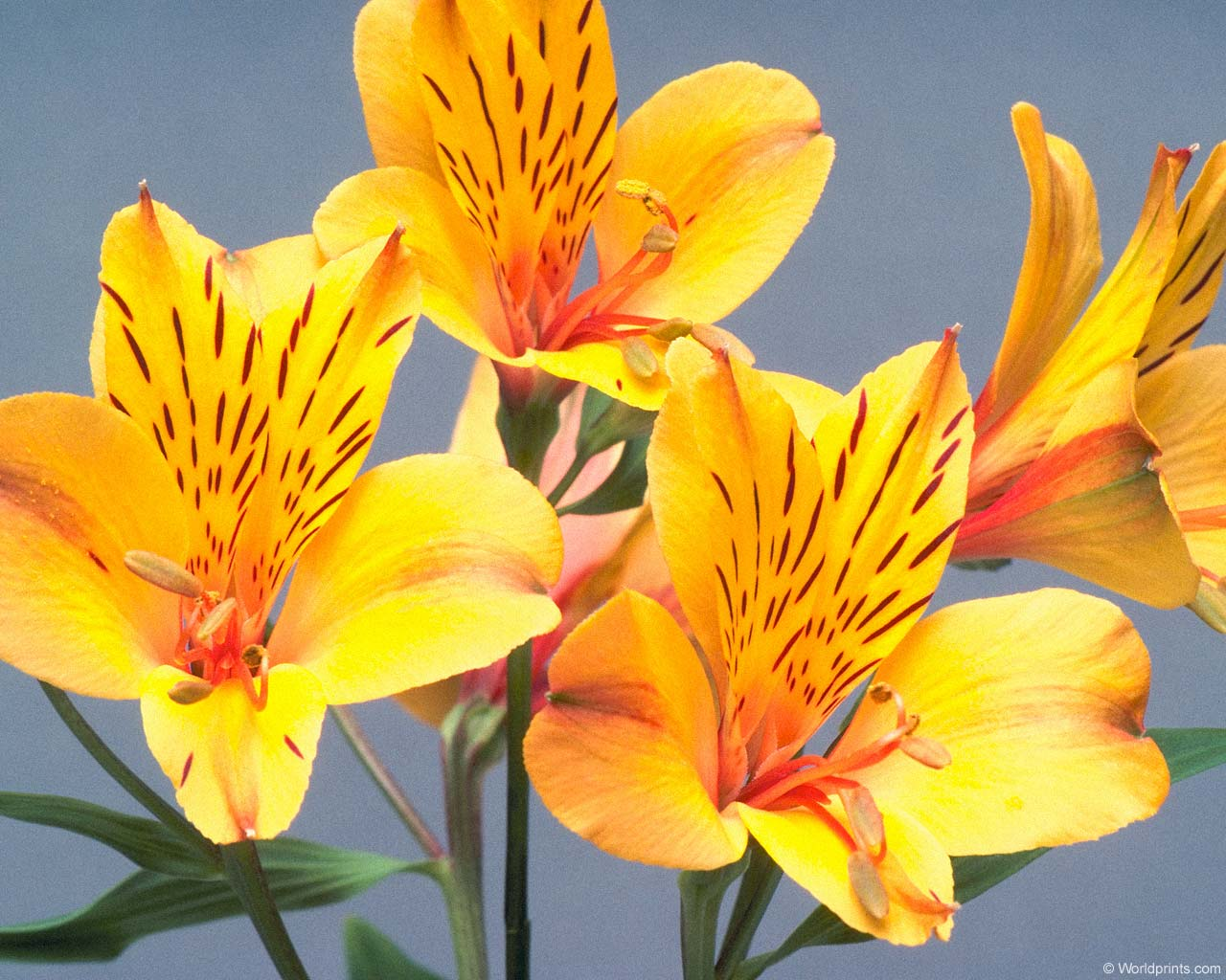 Цветок из 7 букв