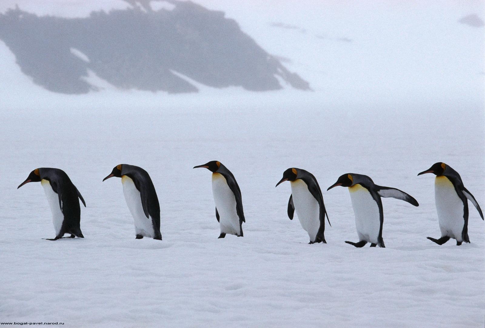 壁紙 ペンギン 動物 ダウンロード 写真