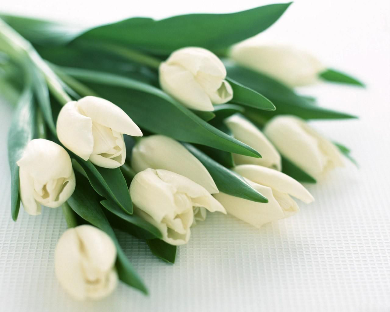 Images White Tulips Flowers