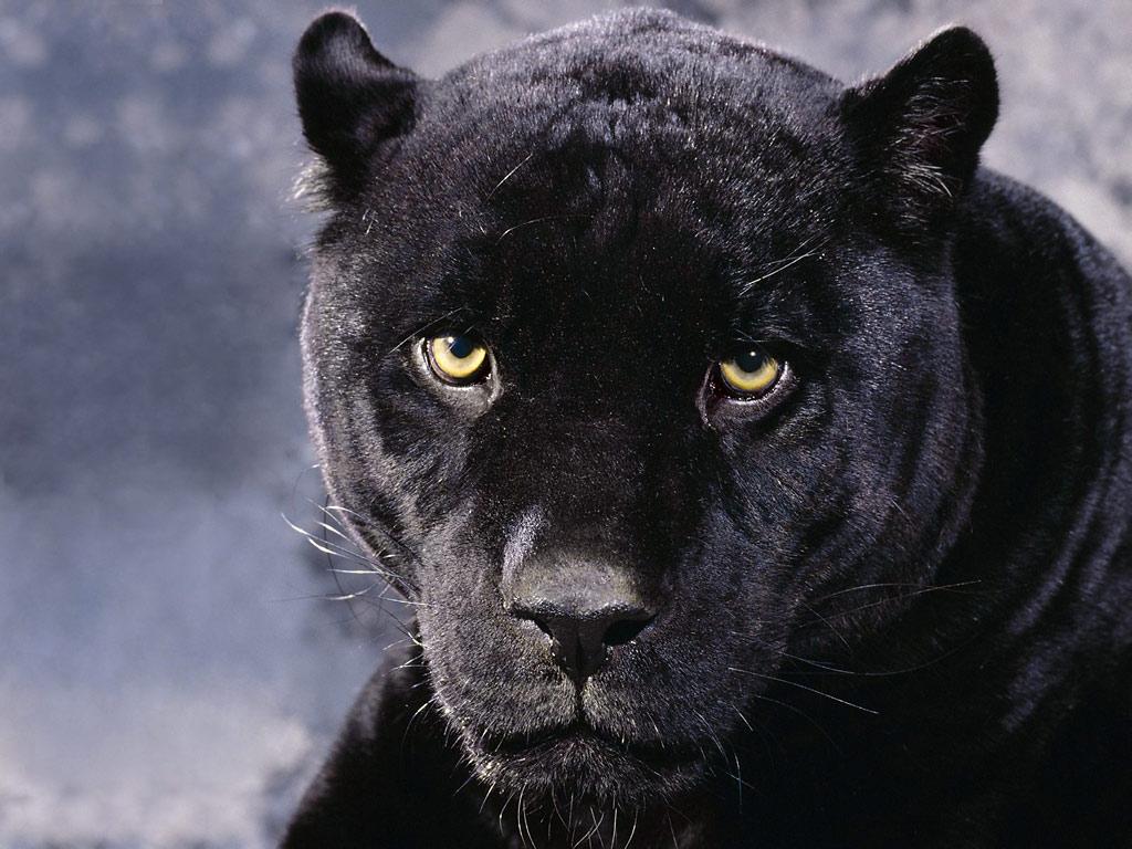 Panthers big cats animals wallpaper panthers big cats animals voltagebd Gallery