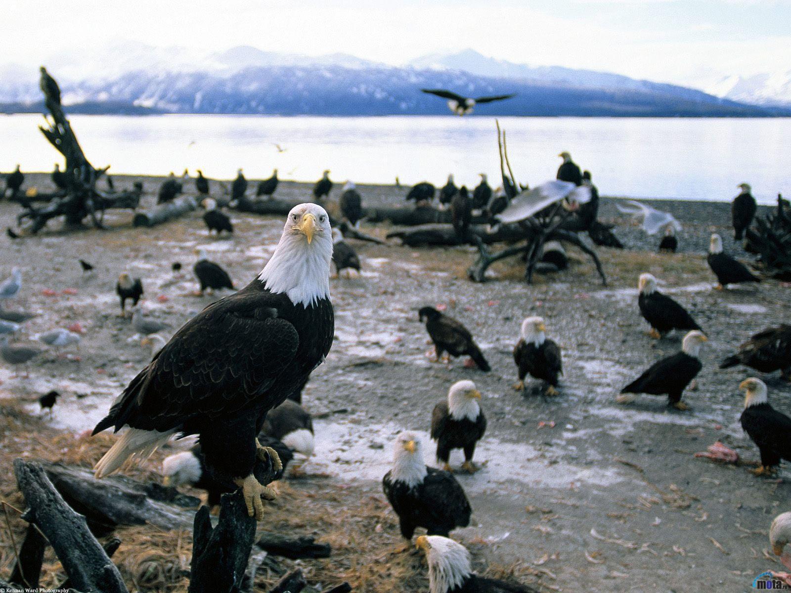 Photos Birds Eagles Animals bird eagle animal