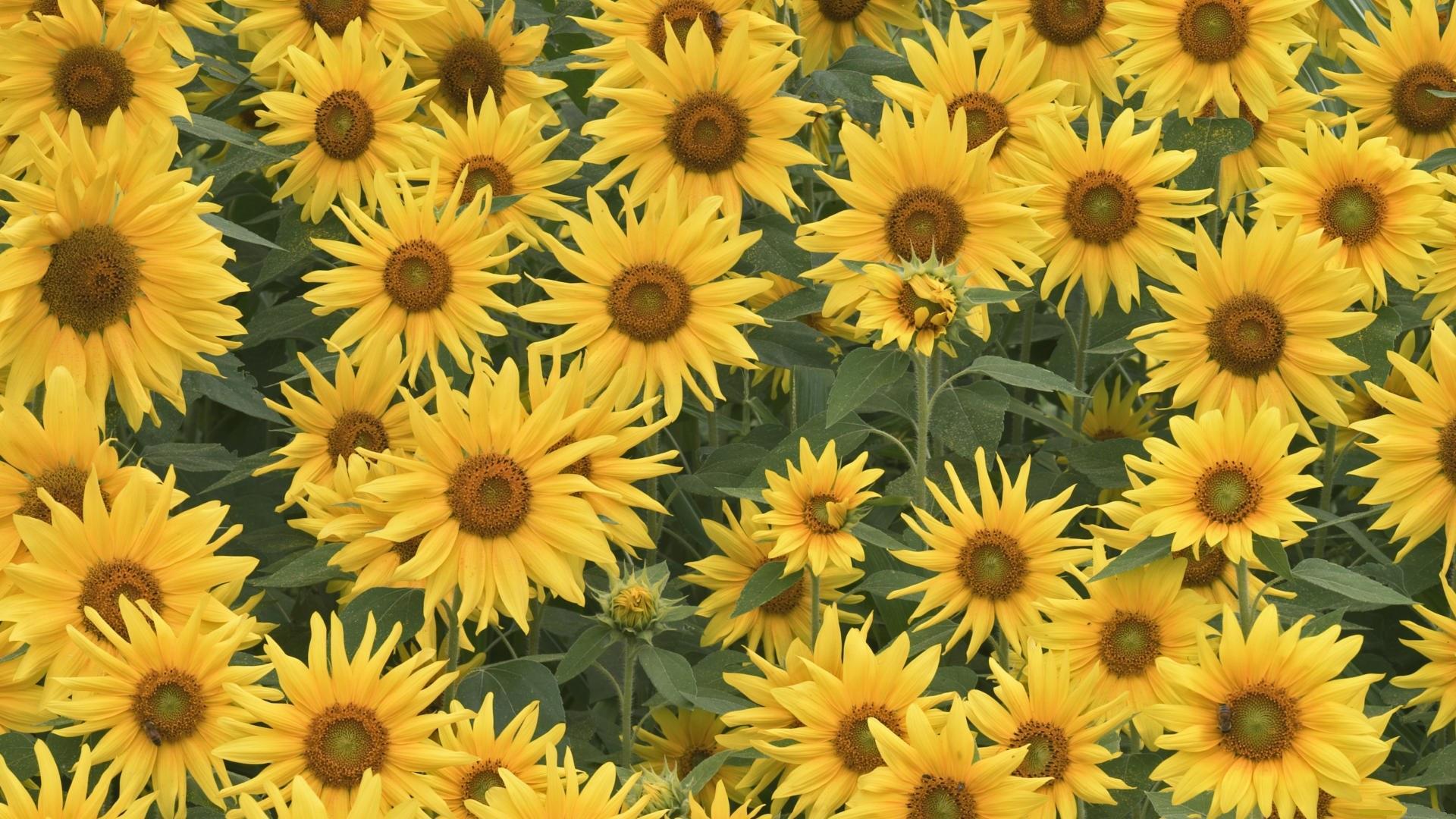 Desktop Wallpapers Flowers Helianthus
