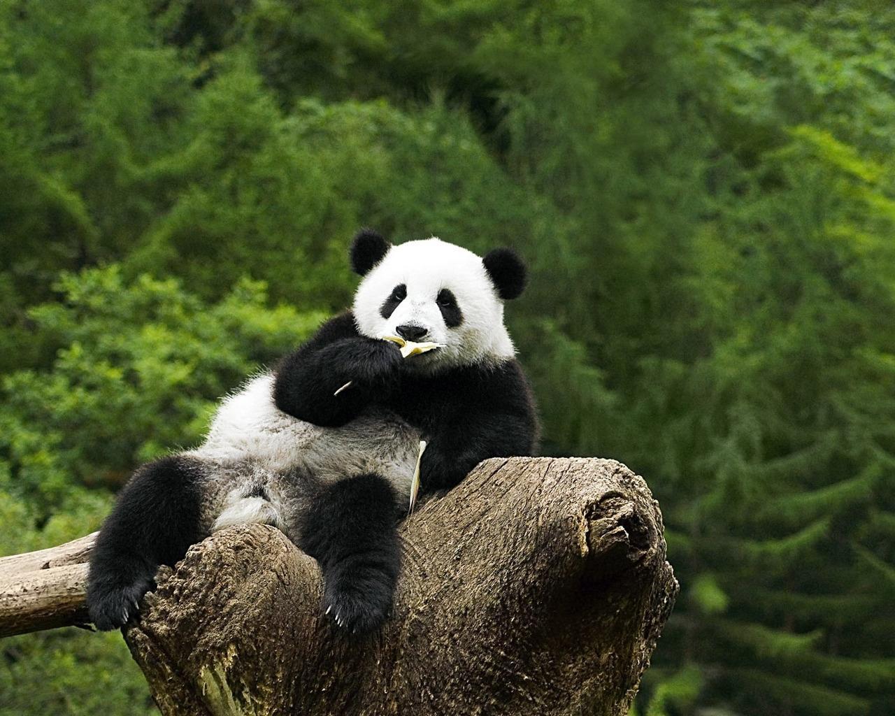 fondos de pantalla osos oso pandas animalia descargar imagenes
