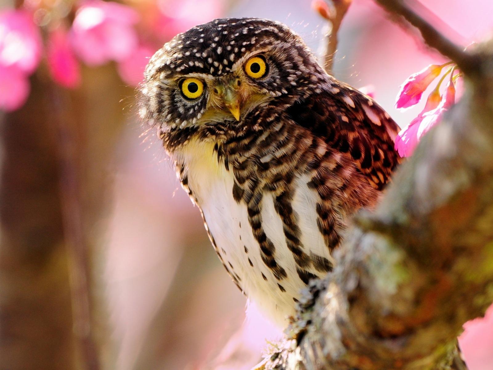Hintergrundbilder Eulen Vögel Tiere