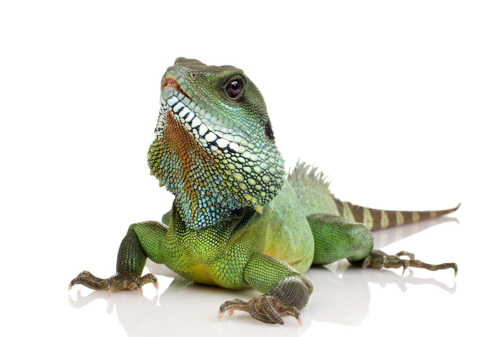 Wallpapers Reptiles Animals White Background