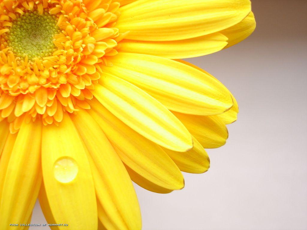 壁紙 ガーベラ クローズアップ 黄色 花 ダウンロード 写真