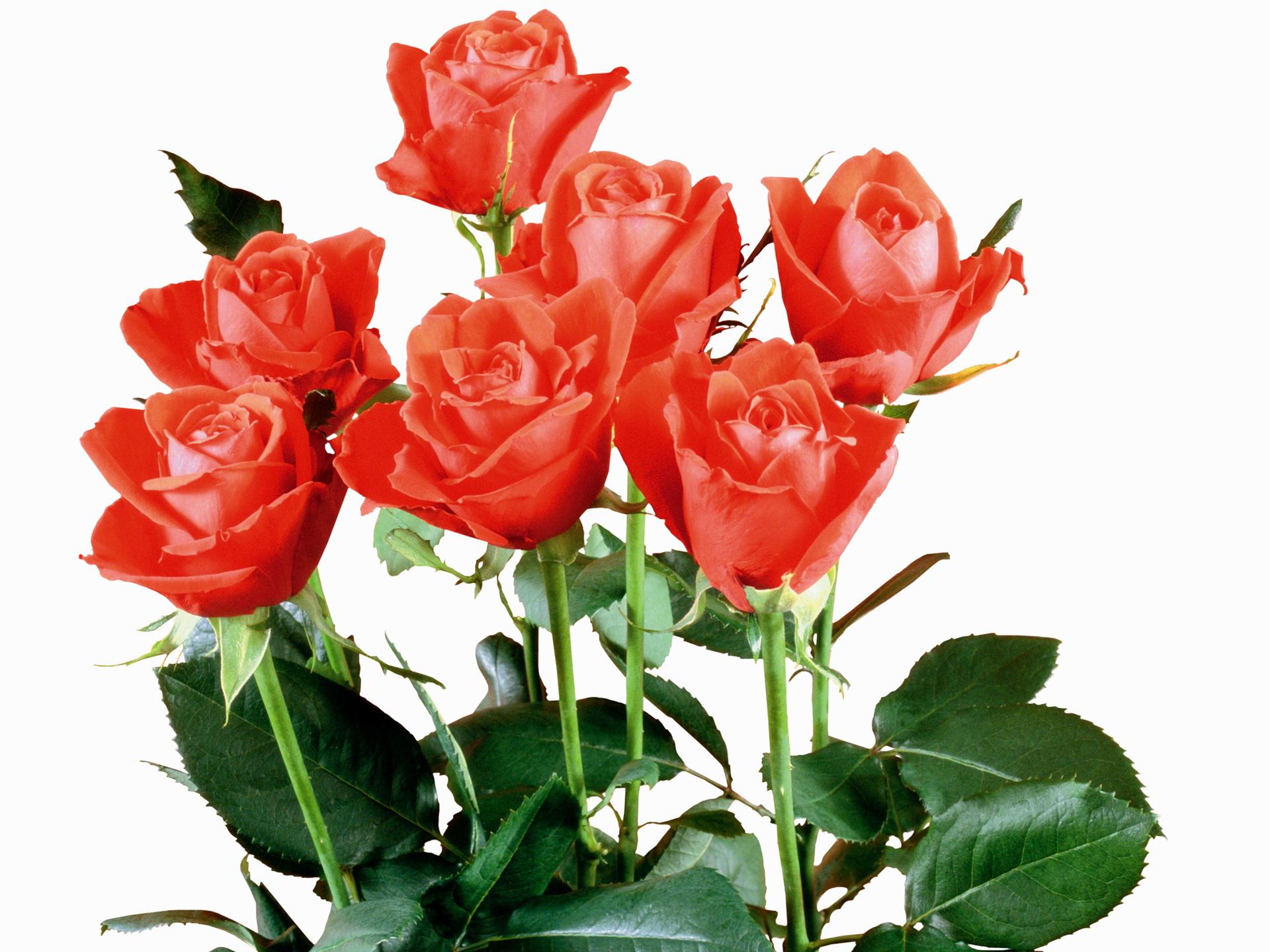 Роза после цветения 5