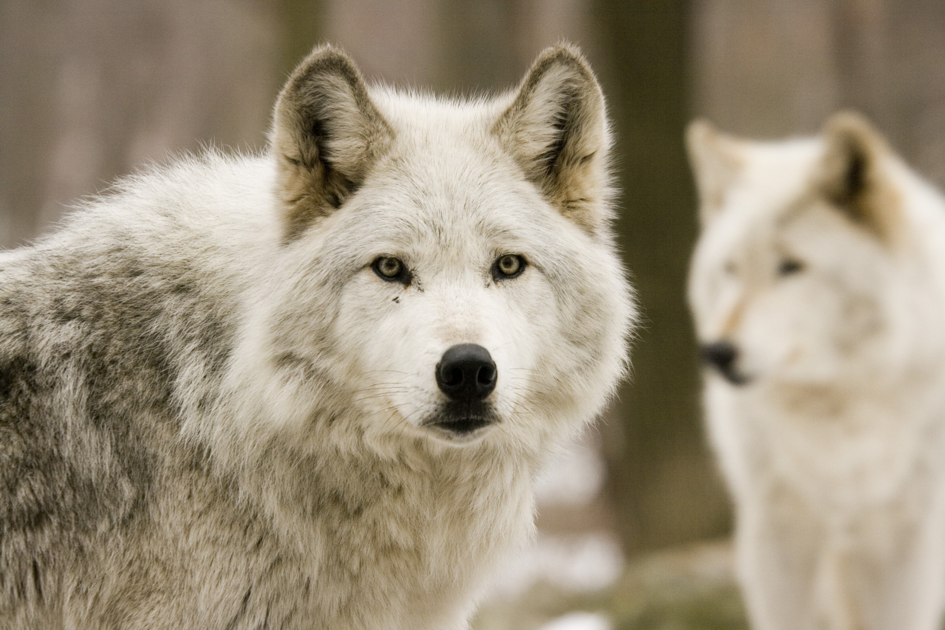against the reintroduction of grey wolves Lessons from wolves: stakeholder perspectives and experiences with northern rocky wolf reintroduction jami l lessons from wolves.