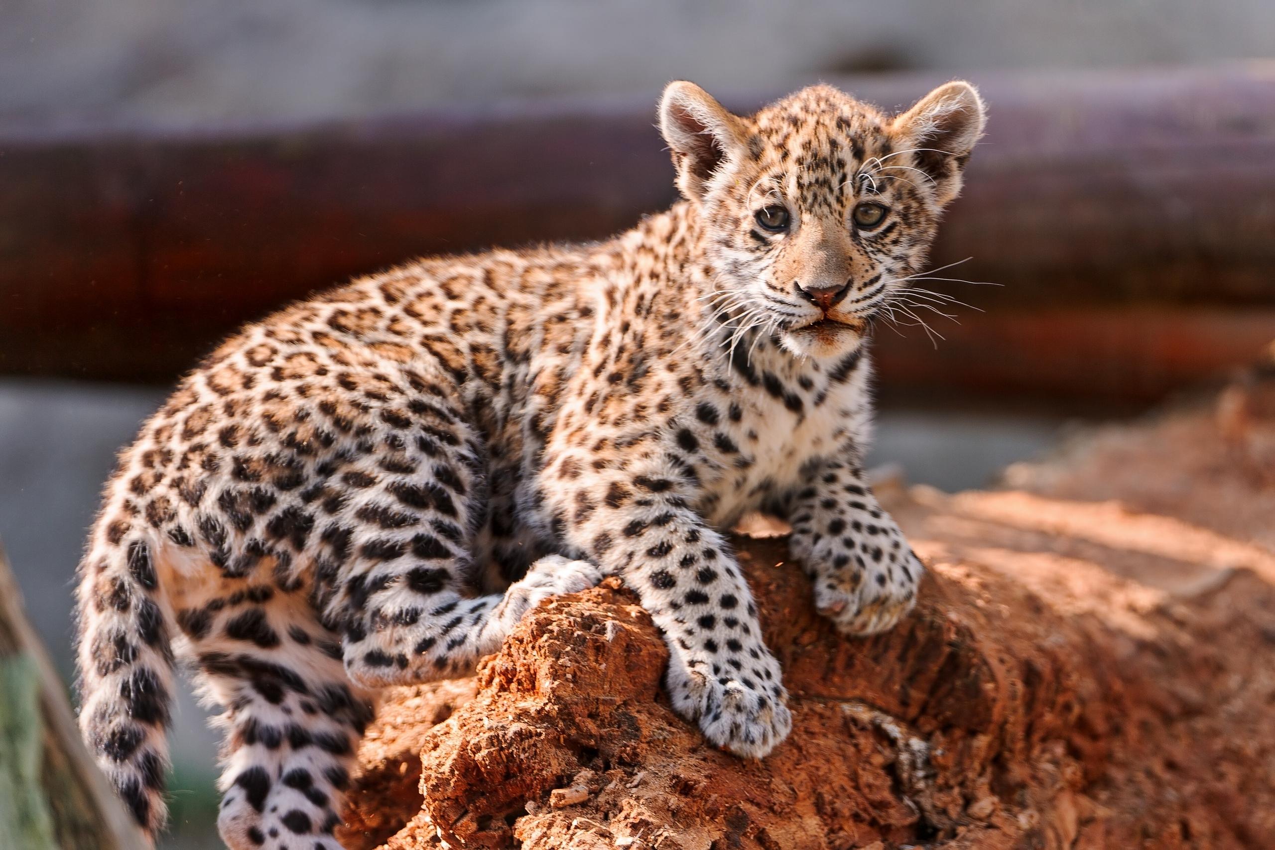 Animales Felino Leopardos Fondo De Pantalla Fondos De: Fondos De Pantalla Grandes Felinos Cachorros Leopardo