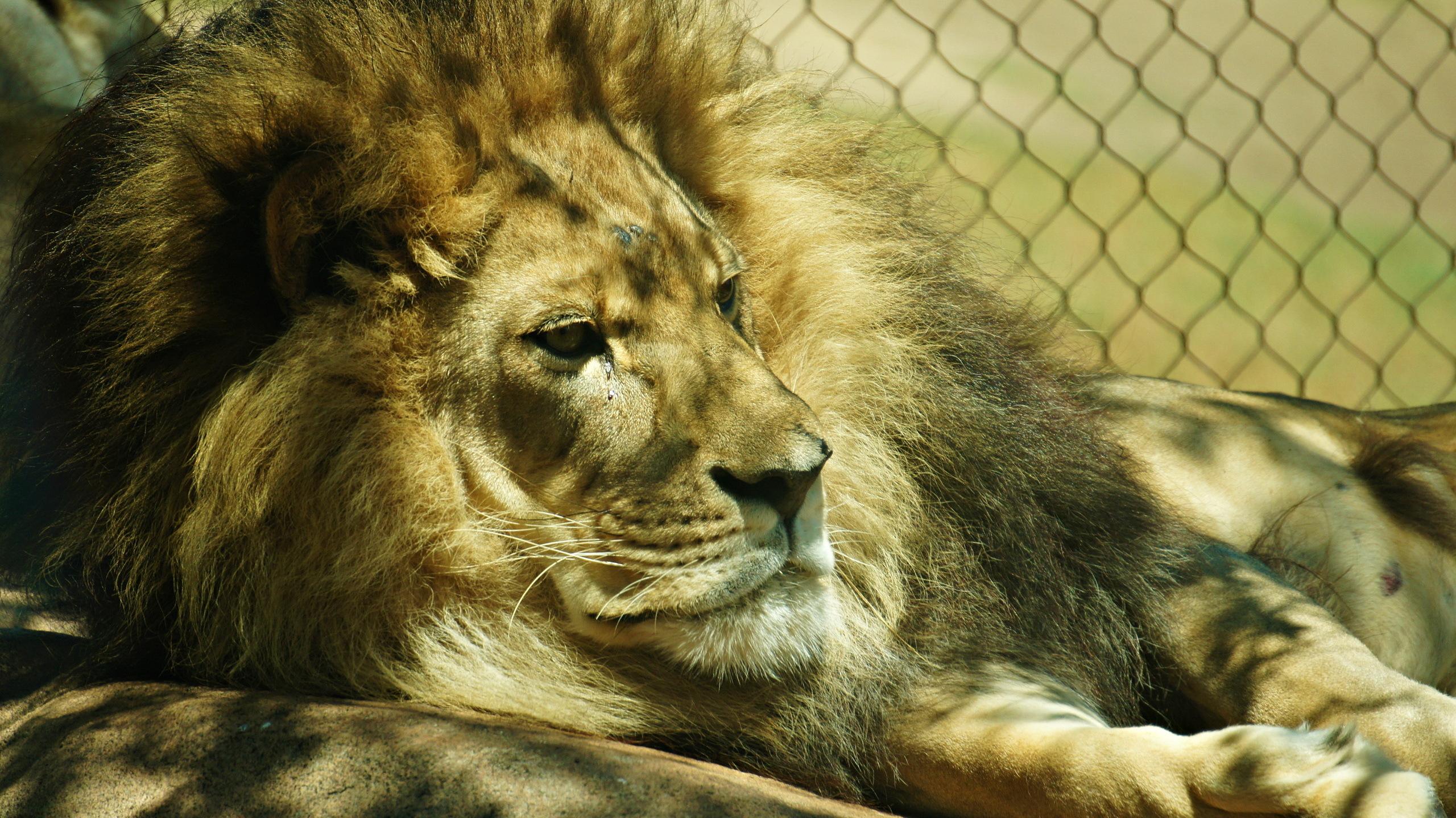 Fonds Decran 2560x1440 Fauve Lions Animaux Télécharger Photo