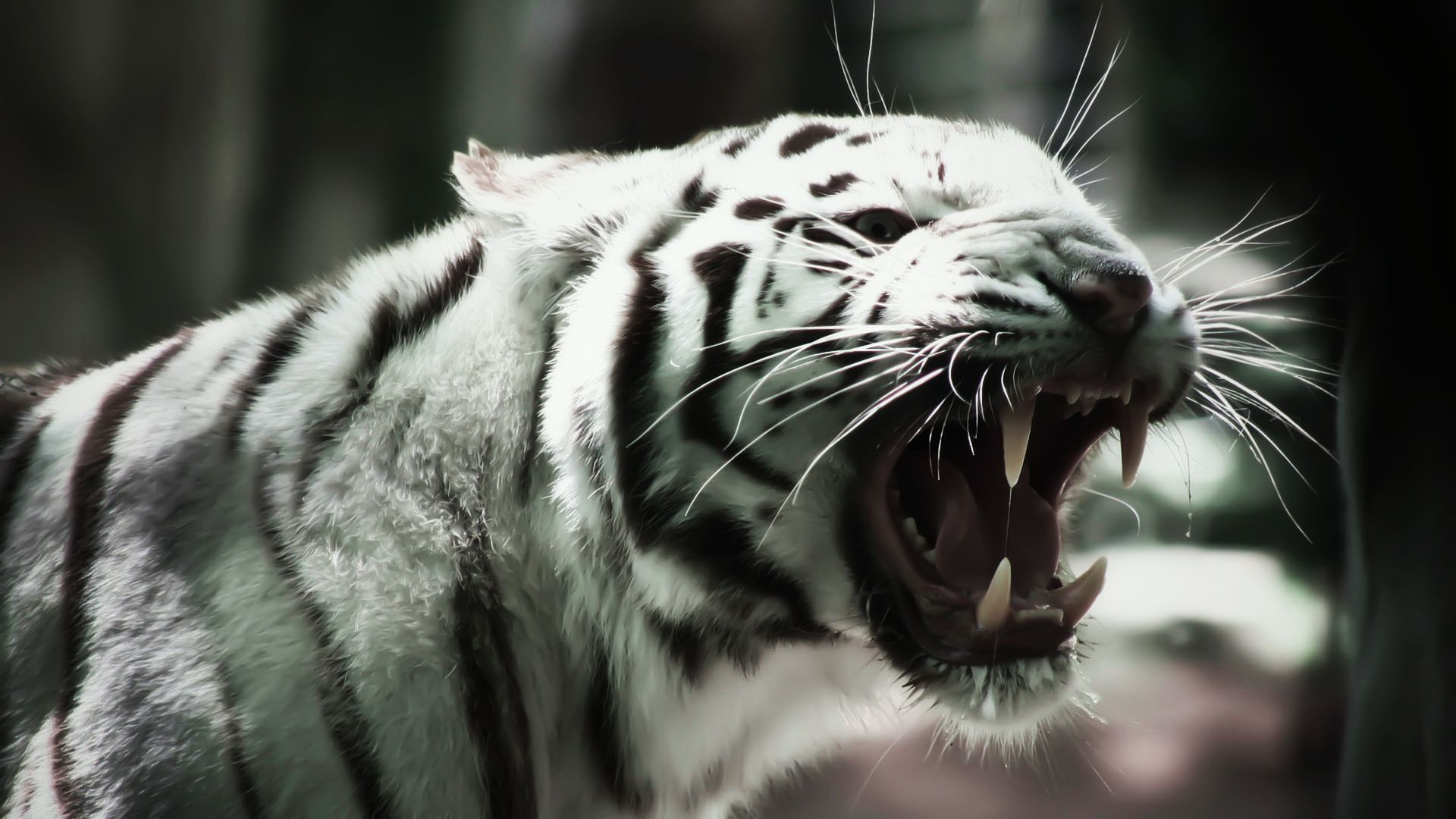 Wallpaper Tigers Big Cats Canine Tooth Fangs Angry Animals