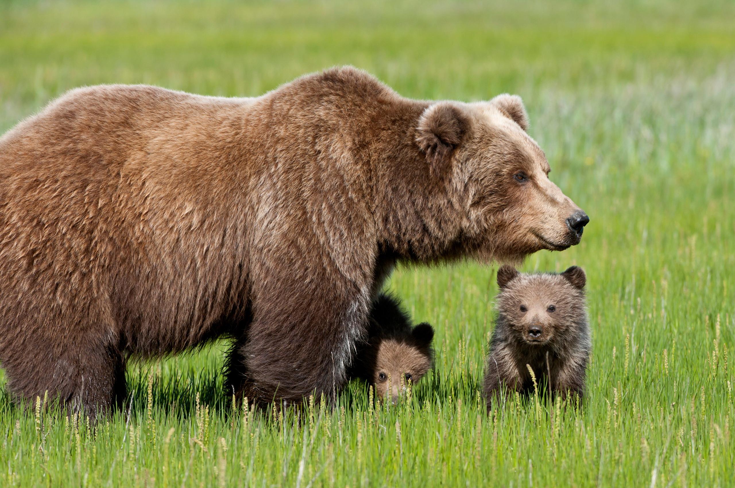 Image D Ours Brun fonds d'ecran 2560x1700 ours ours brun animaux télécharger photo