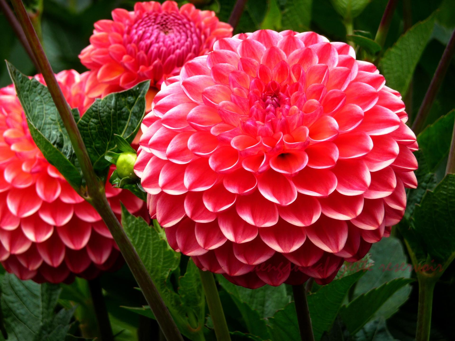 Цветы георгинов