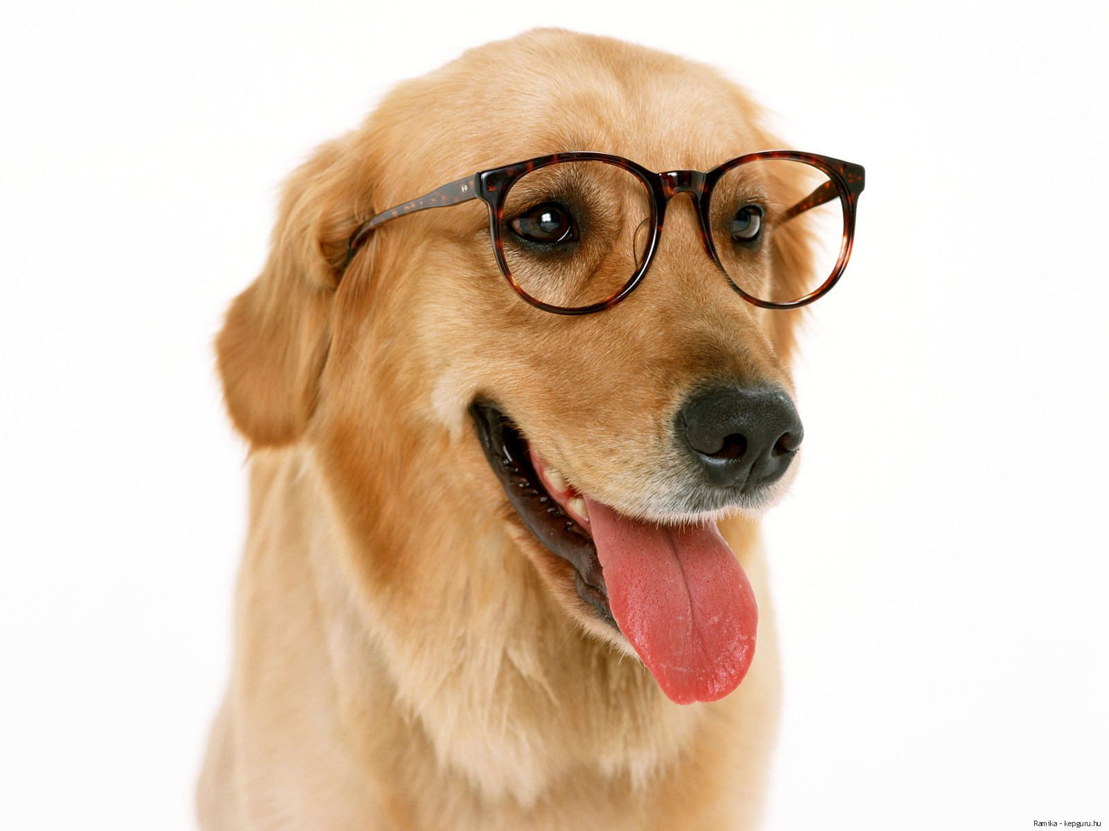 Fondos de Pantalla Perro Retriever Gafas Lengua (anatomía) Animalia ...
