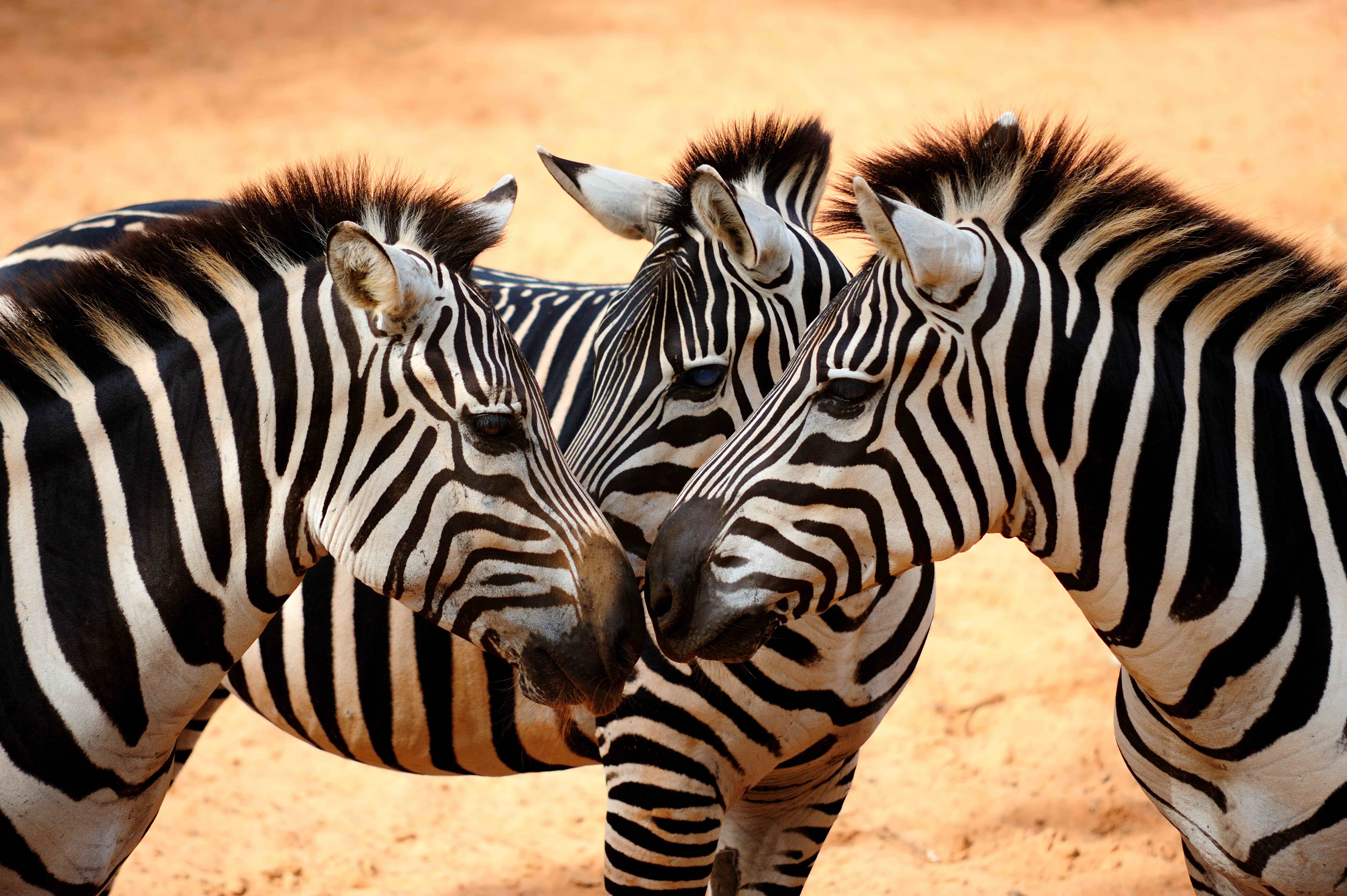 Bilder von Zebra Tiere
