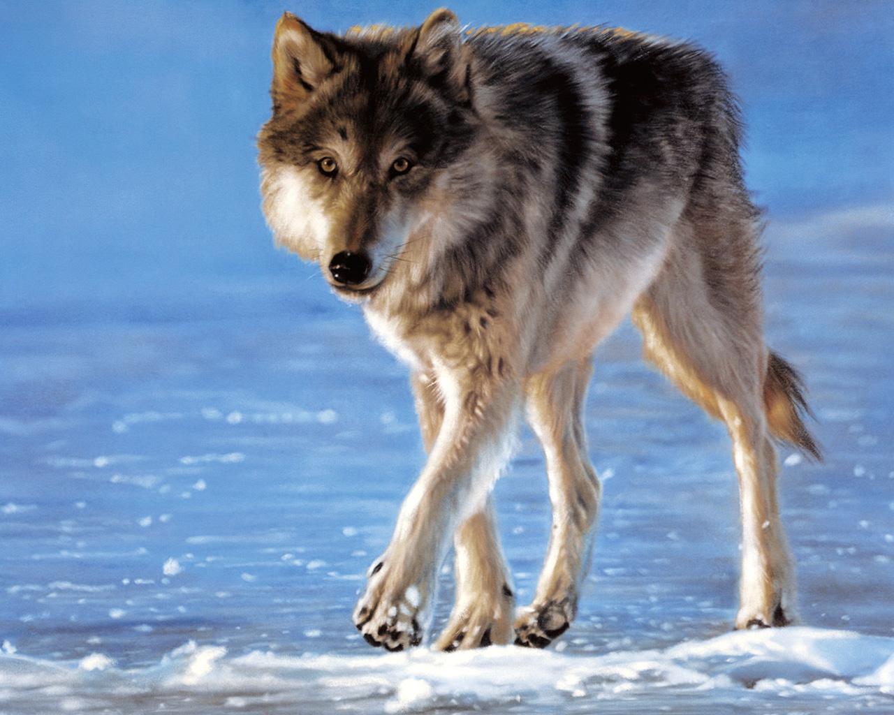 狼,,动物壁纸,照片,下载