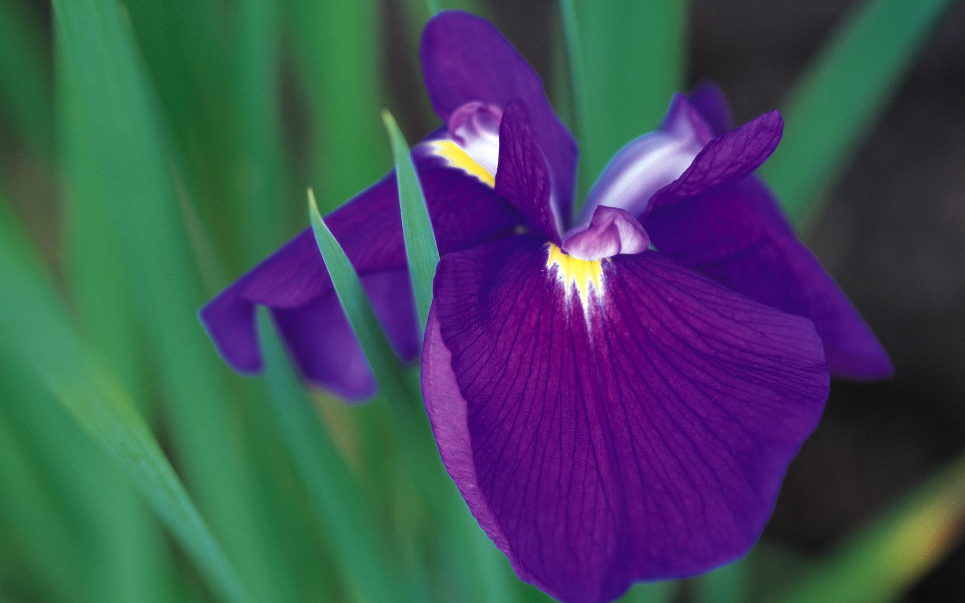 Фото ириса цветка картинки