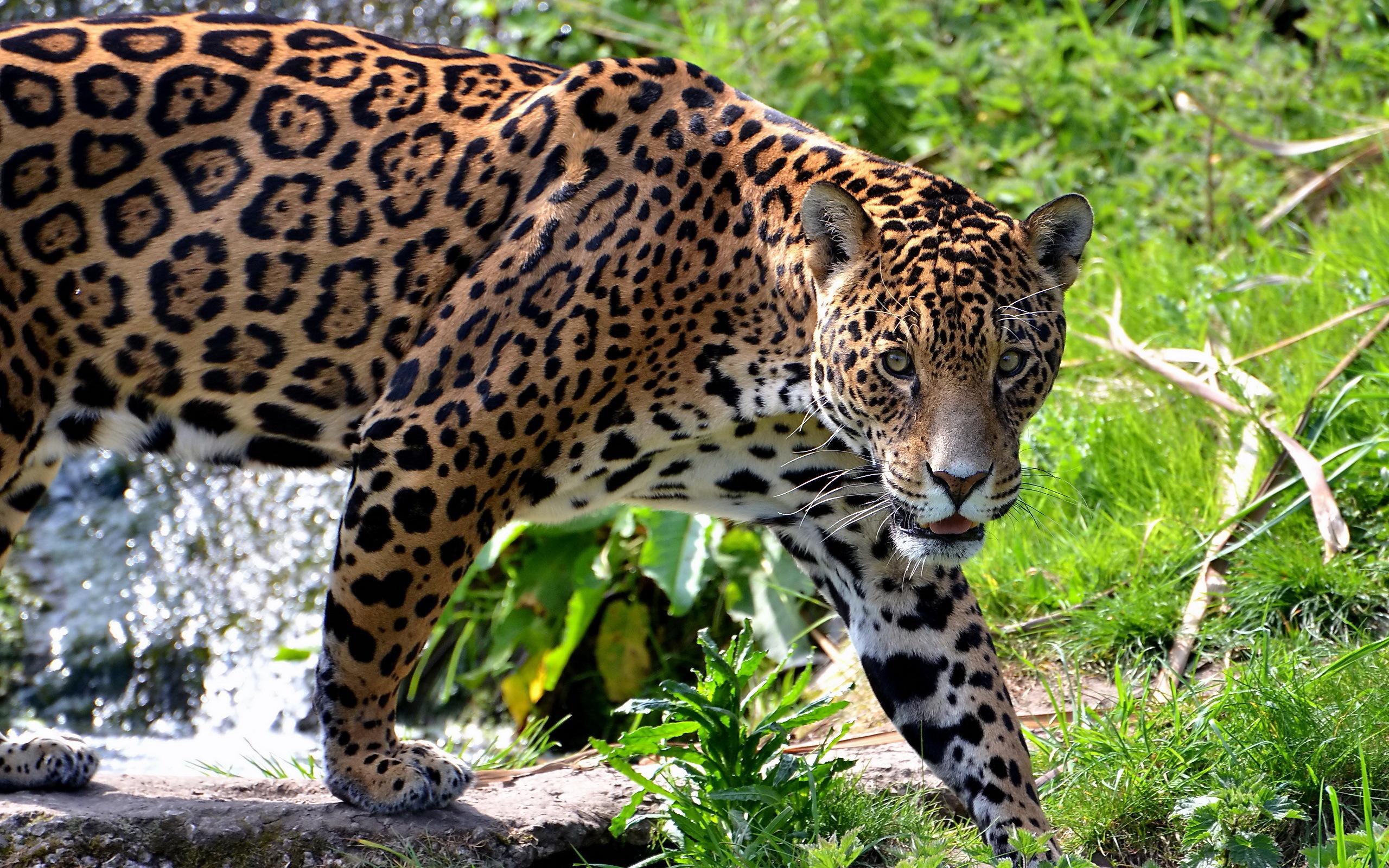 Fondos De Pantalla De Felinos: Fondos De Pantalla 2560x1600 Grandes Felinos Jaguar