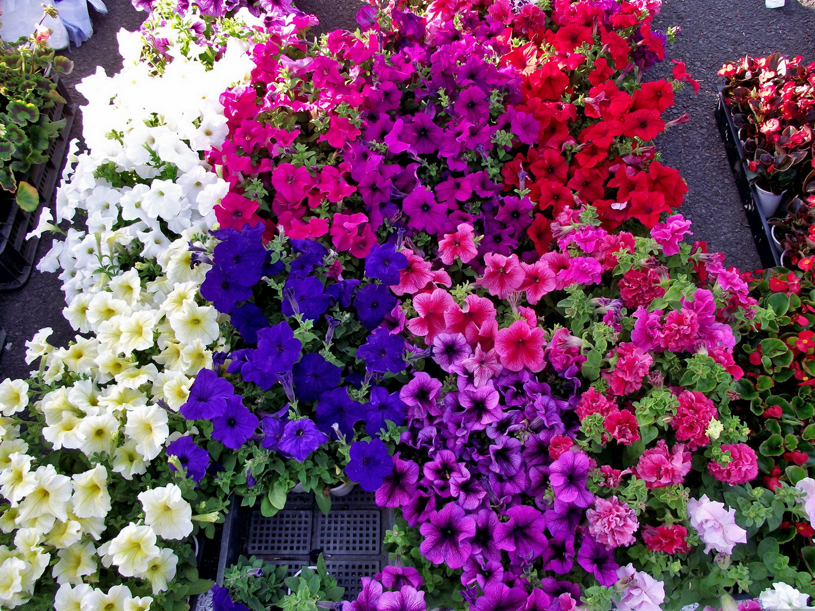 Desktop Wallpapers Flowers Petunia