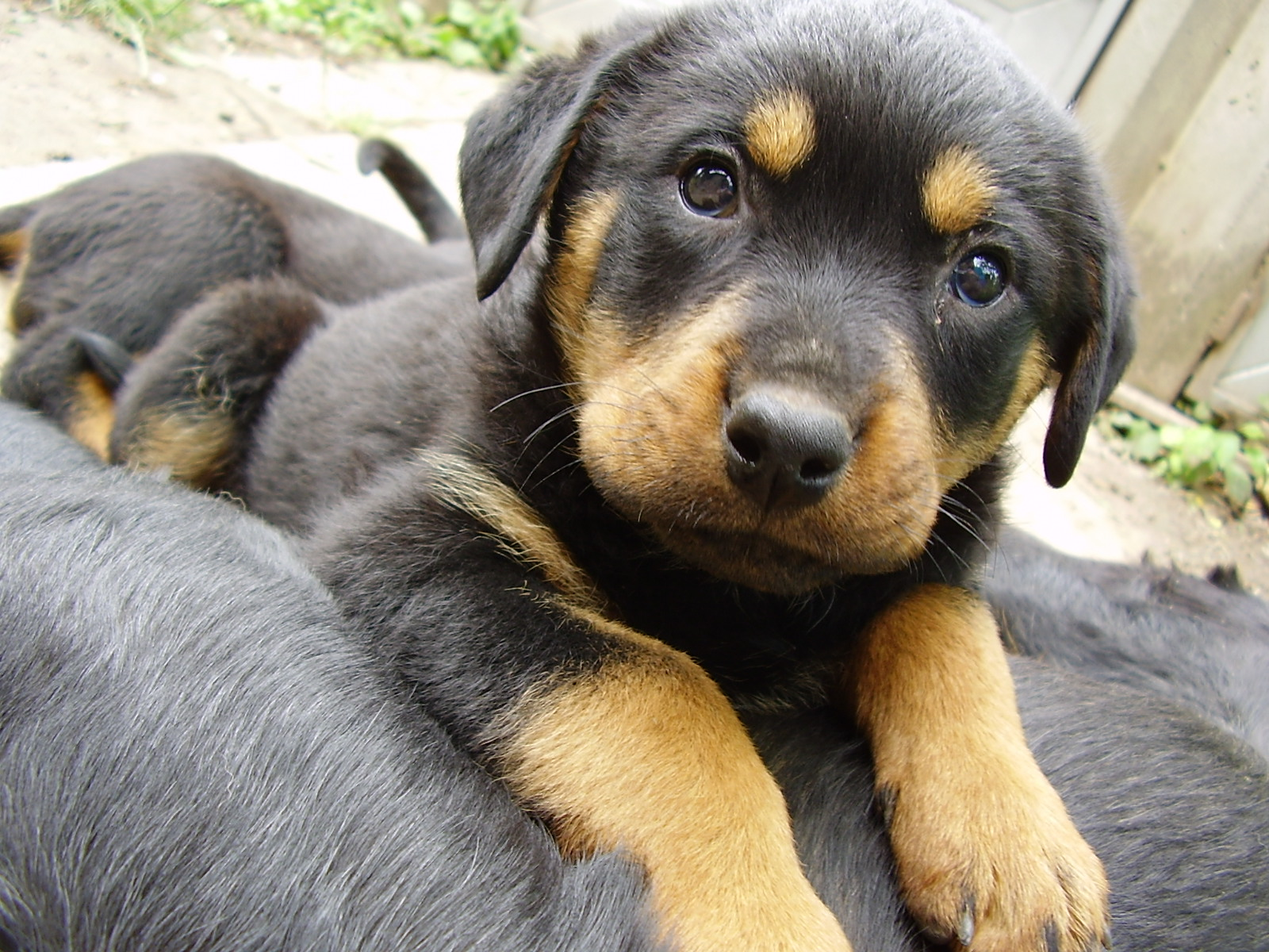 Wallpapers Puppy Rottweiler Dogs Animals