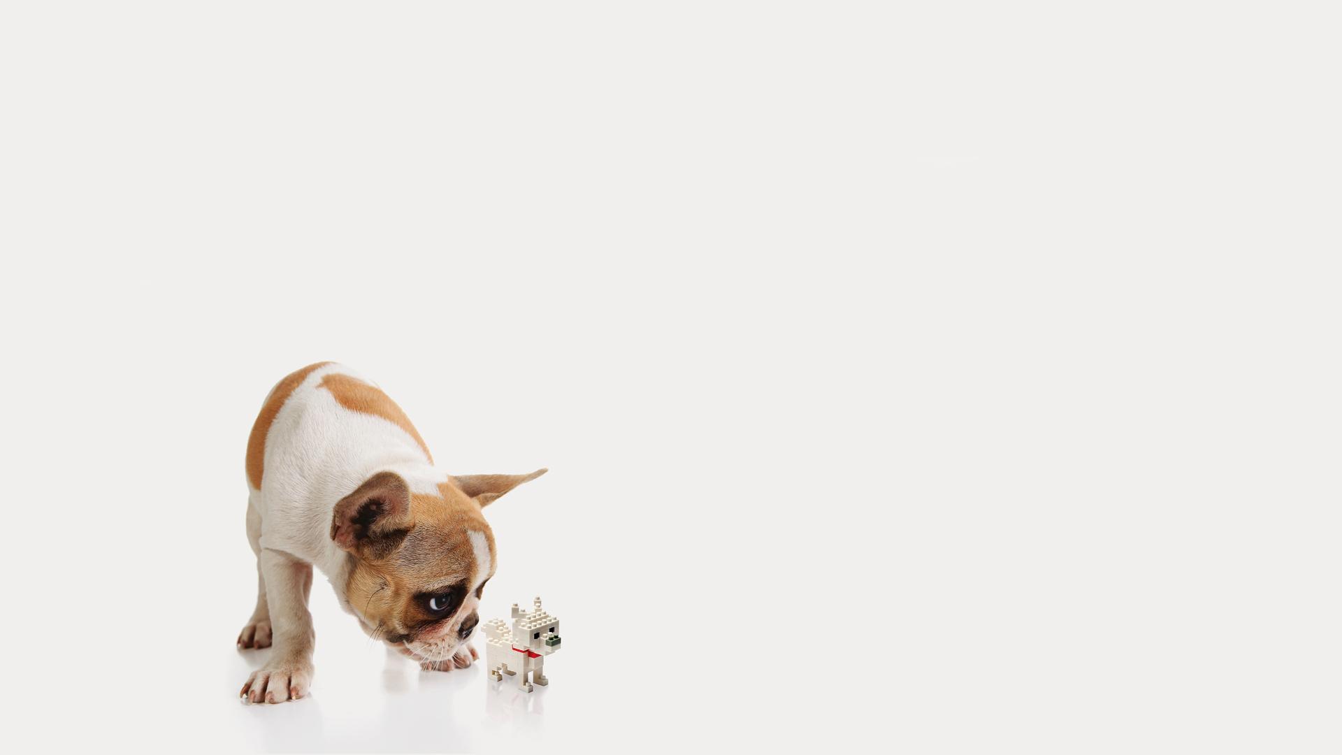 Fondos de pantalla perro bulldog animalia descargar imagenes for Fondos de pantalla de perritos
