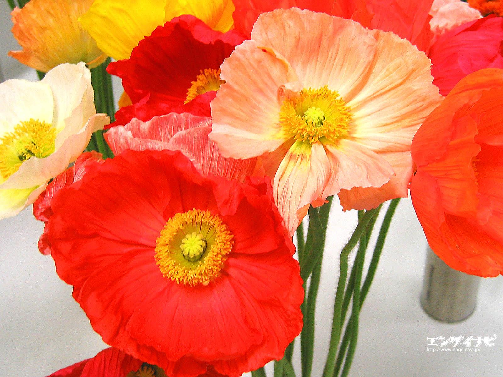 Photos flowers poppies mightylinksfo