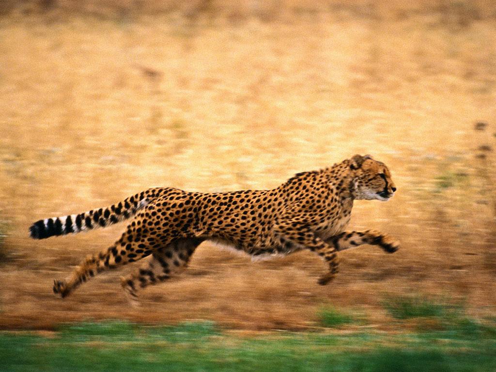 Bilder Gepard Gro U00dfe Katze Ein Tier