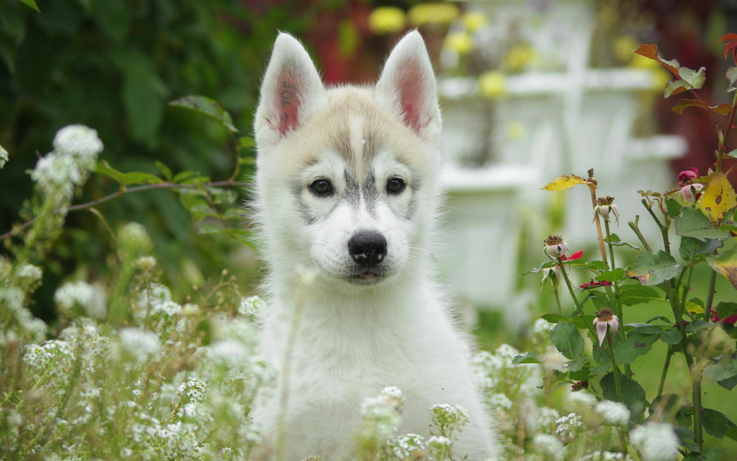 Perros Husky Siberiano Fondos De Pantalla Hd De Animales 2: Hintergrundbilder Alaskan Malamute Hunde Tiere