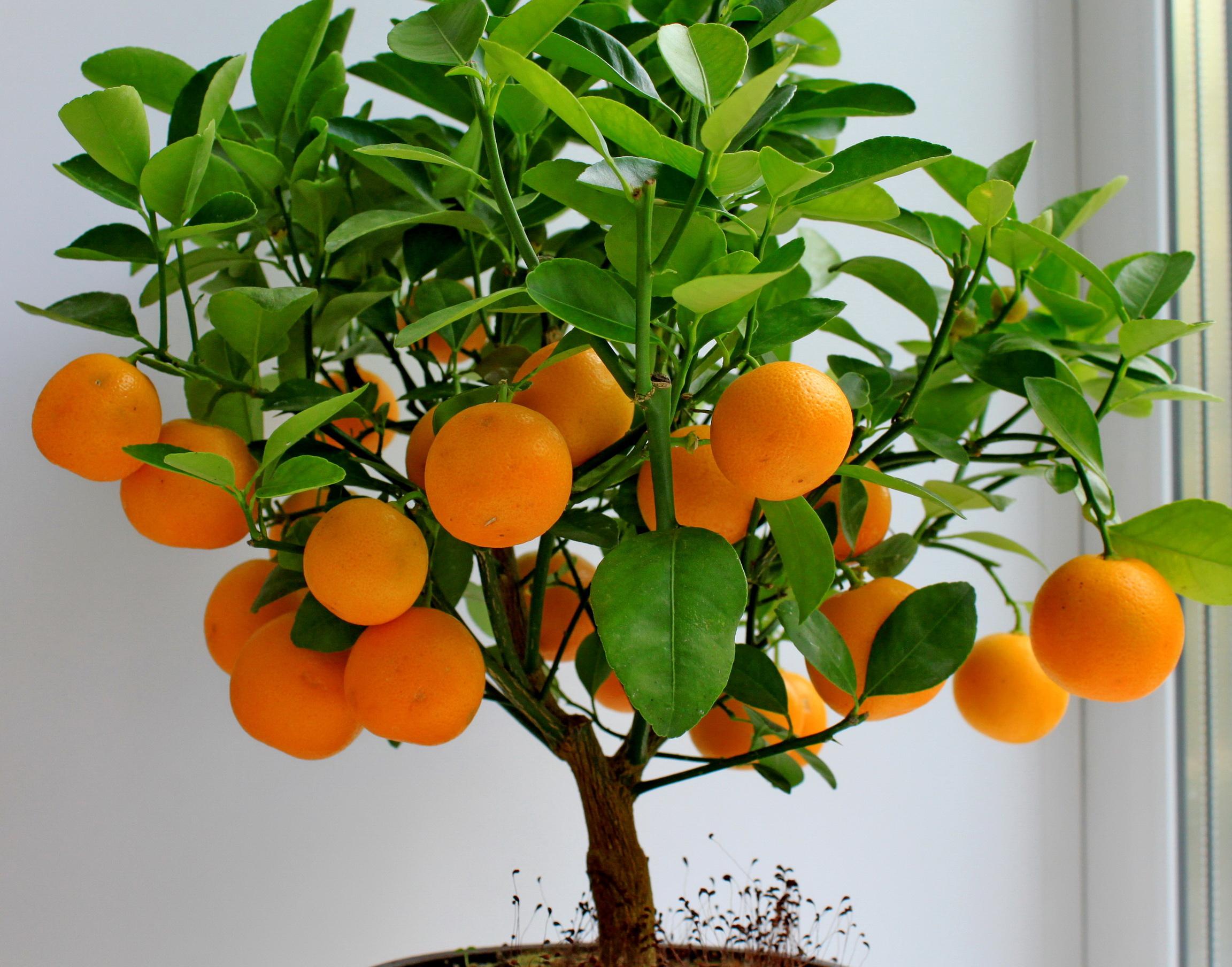 Picture Foliage Mandarine Food Fruit Trees Citrus 2304x1808