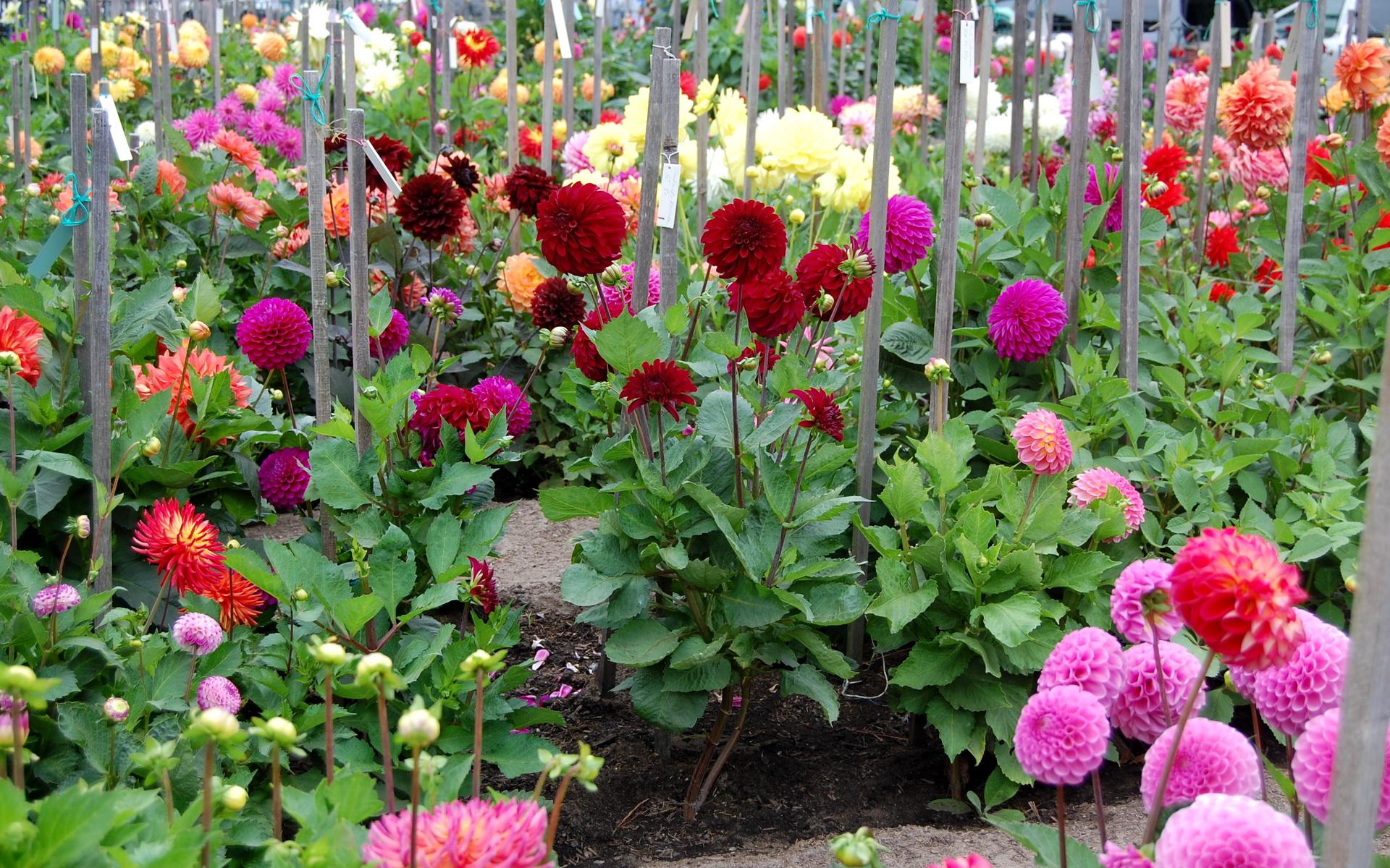 Images flowers dahlias 1920x1200 izmirmasajfo