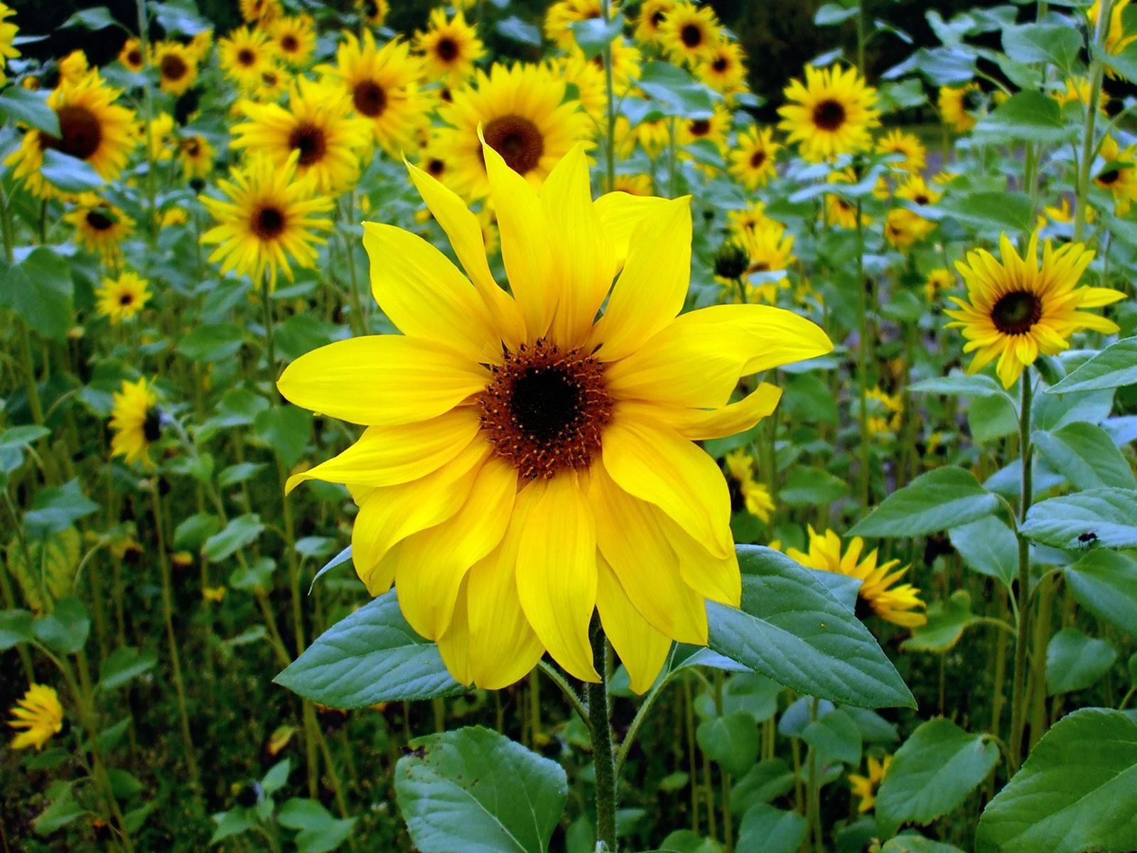 указанные жолтые цветы похожие на подсолнух для