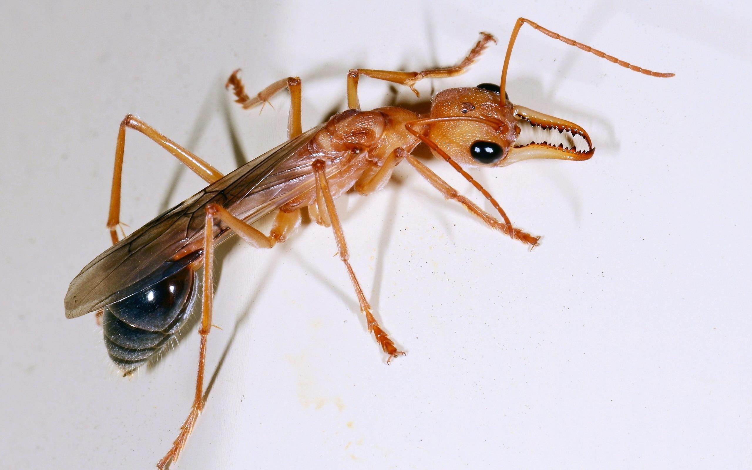 hintergrundbilder ameisen insekten tiere. Black Bedroom Furniture Sets. Home Design Ideas
