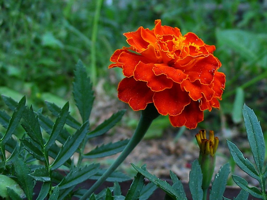 Цветы бархотка