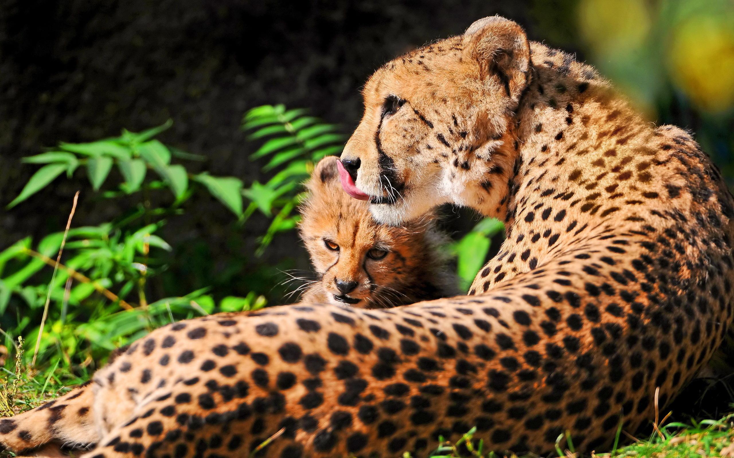 fotos von gepard große katze tiere 2560x1599
