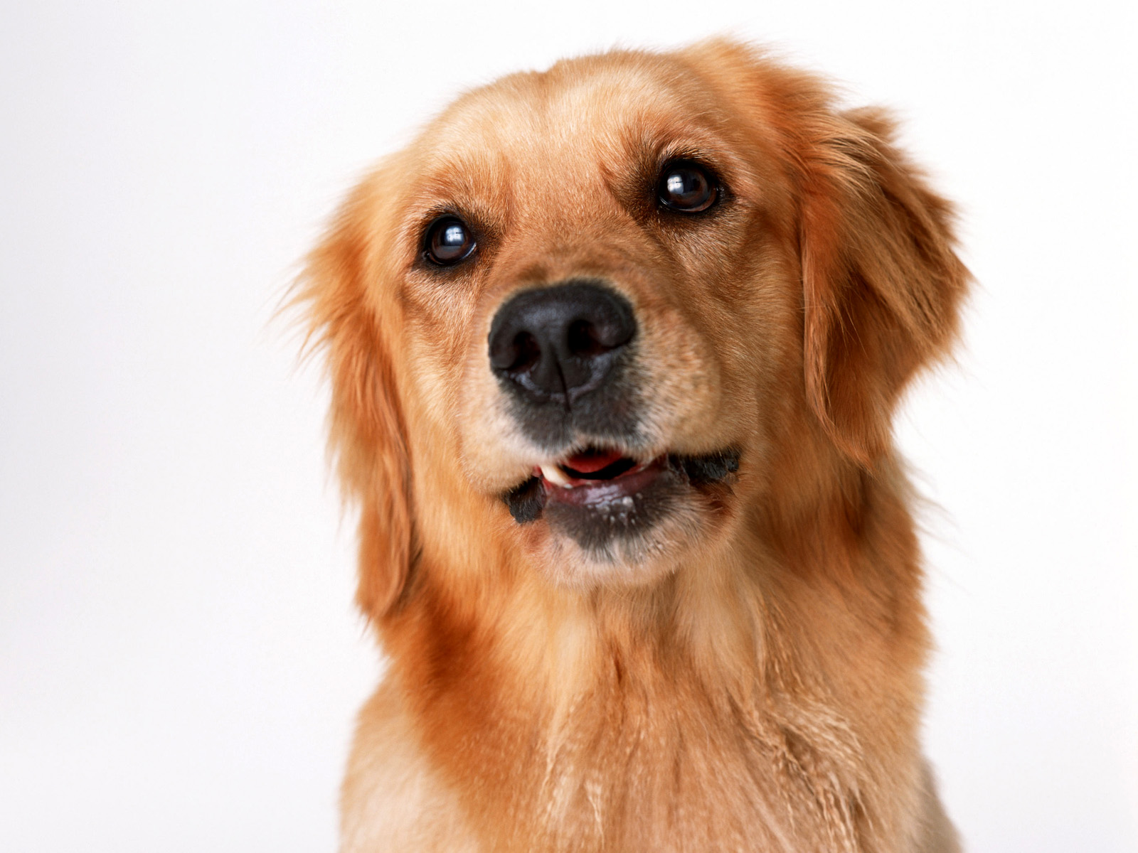 Picture retriever dogs animals white background voltagebd Choice Image