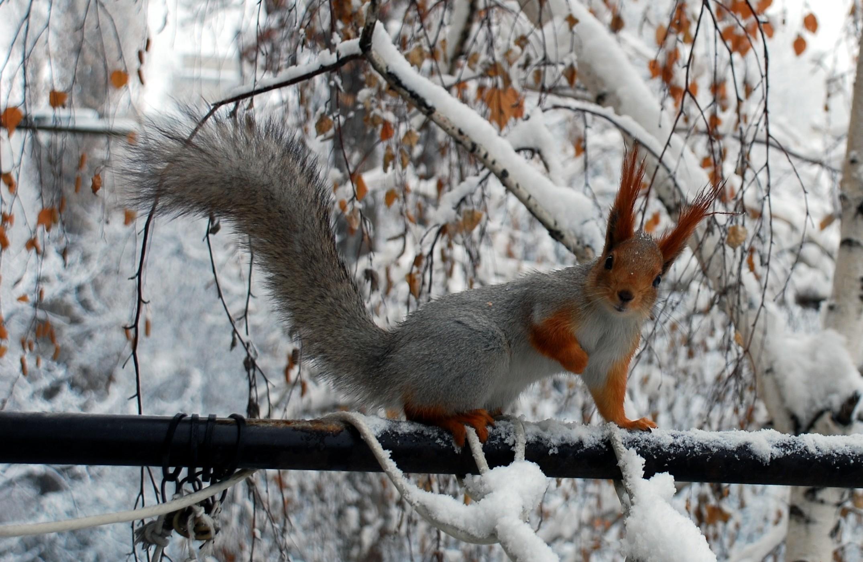 Fonds d 39 ecran rongeurs cureuil saison hiver neige branche for Fond ecran hiver animaux