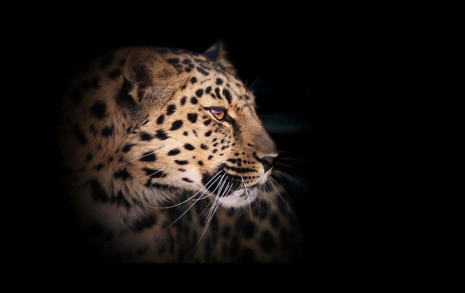 Fondo De Pantalla De Leopardo Fondos De Pantalla Gratis: Fondos De Pantalla Grandes Felinos Leopardo Animalia