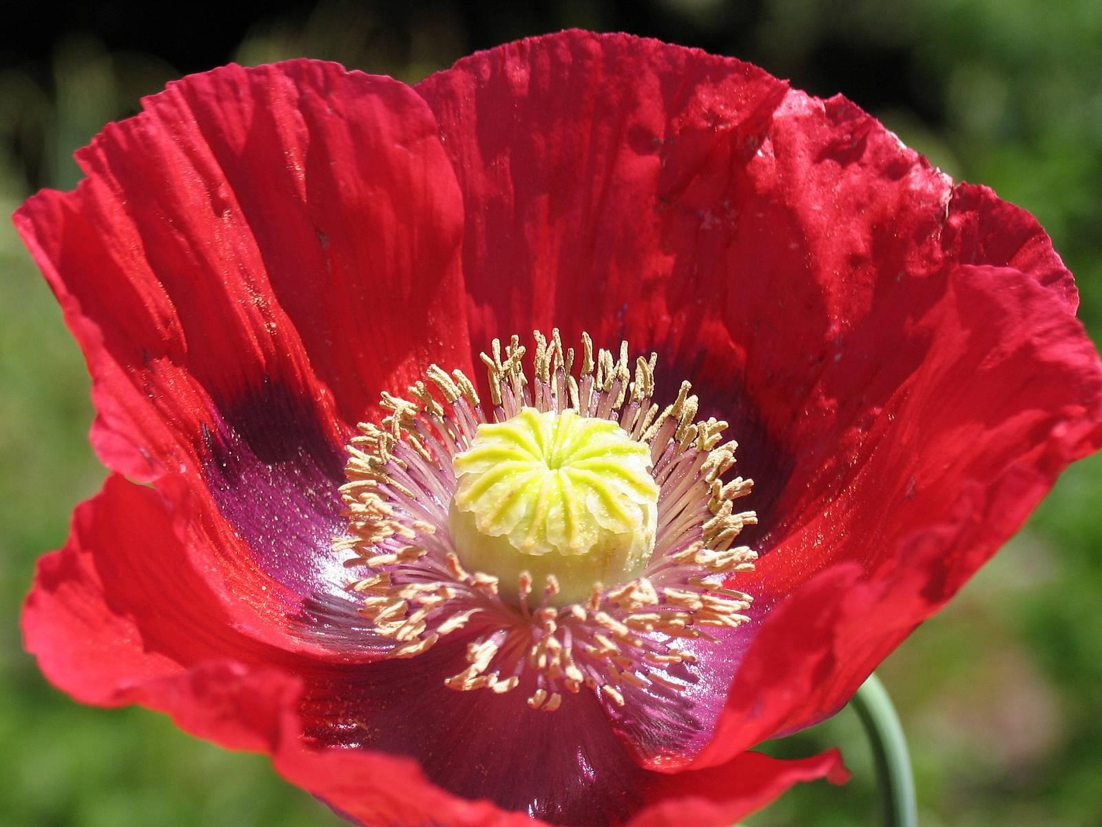 Images flowers poppies mightylinksfo