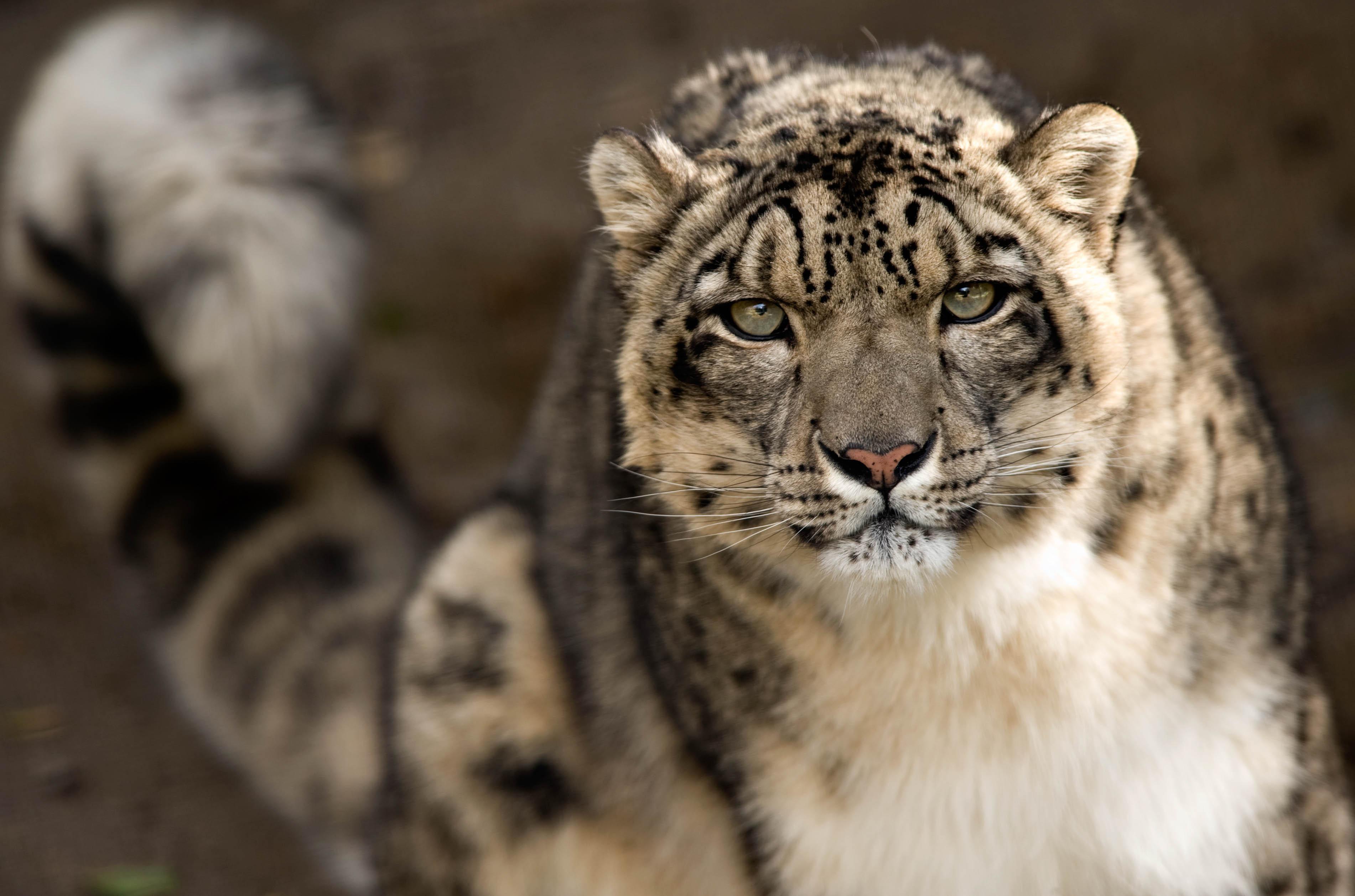Fondos De Pantalla Grandes: Fondos De Pantalla Grandes Felinos Leopardo De Las Nieves