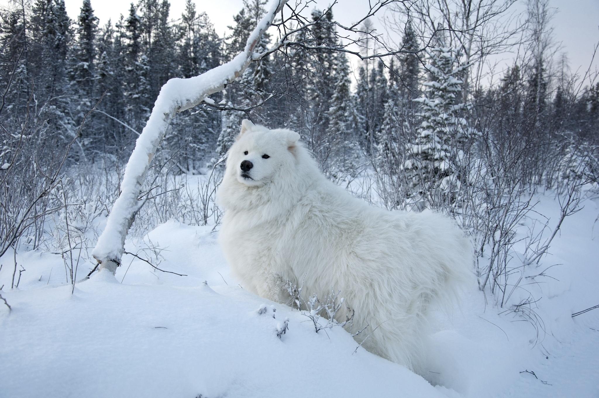 Fonds d 39 ecran chien saison hiver blanc neige duveteux for Fond ecran hiver animaux