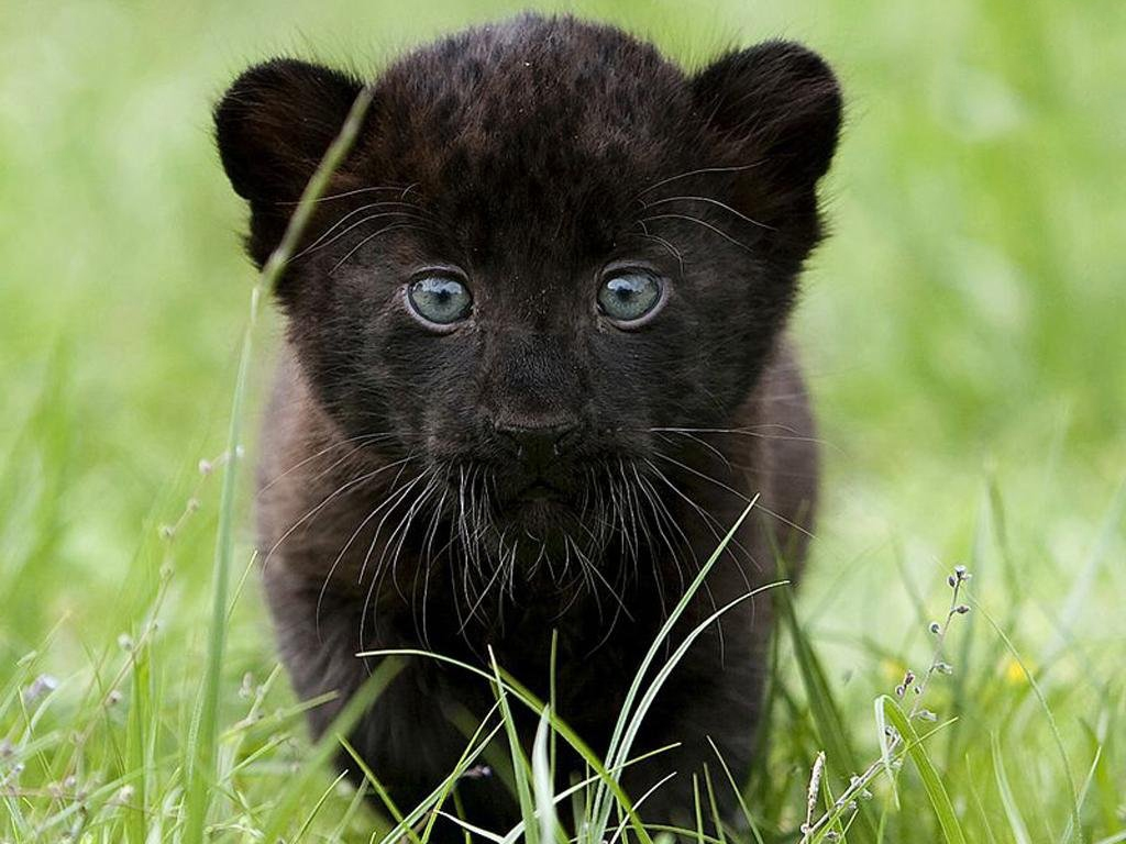 Panthers big cats cubs animals wallpaper panthers big cats cubs animals voltagebd Gallery
