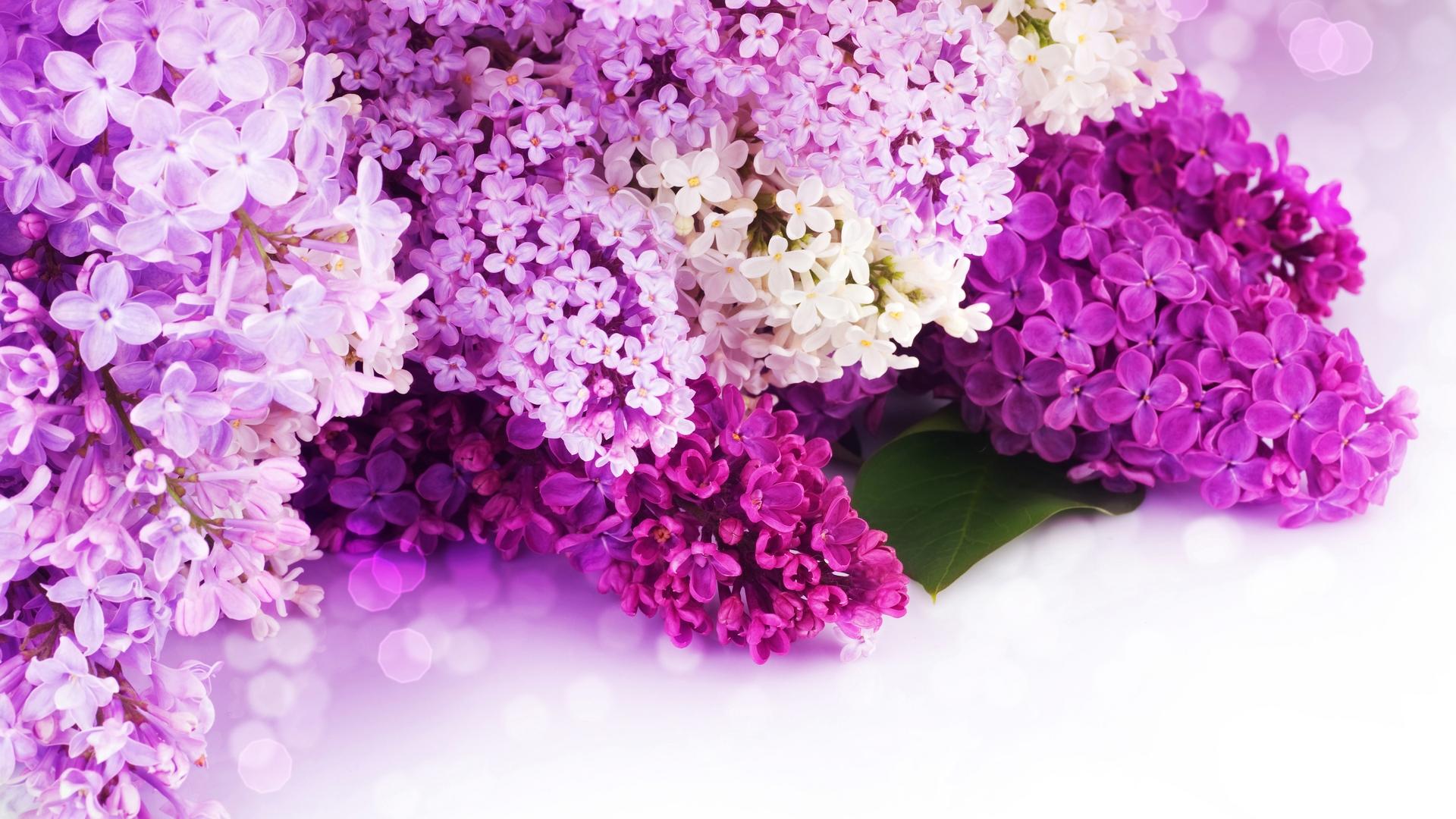 Foto Blumen Flieder