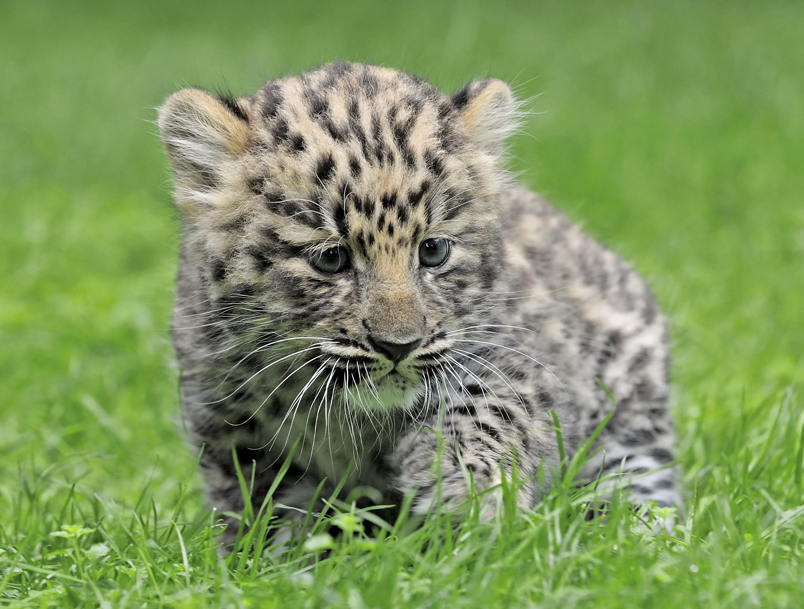 fotos von leopard gro e katze jungtiere tiere. Black Bedroom Furniture Sets. Home Design Ideas