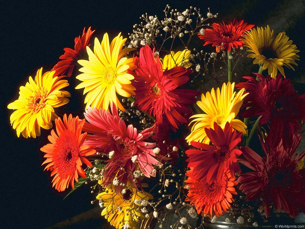 как выглядят герберы цветы фото