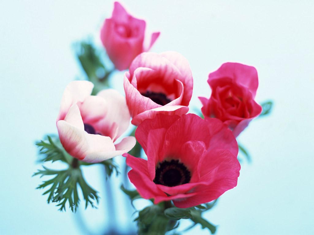 Wallpapers Flowers Anemones