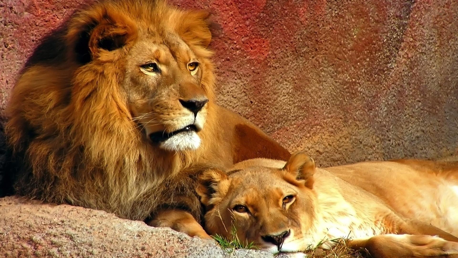 всего картинки с львами и львицами аренда
