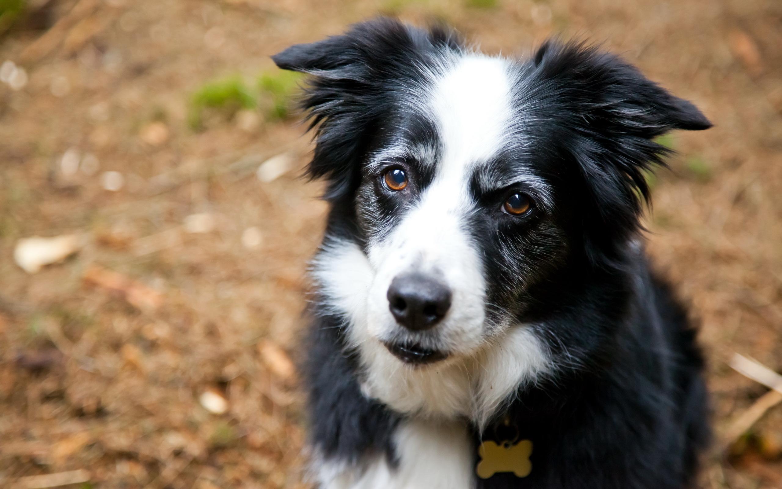 photos border collie dogs animals 2560x1600