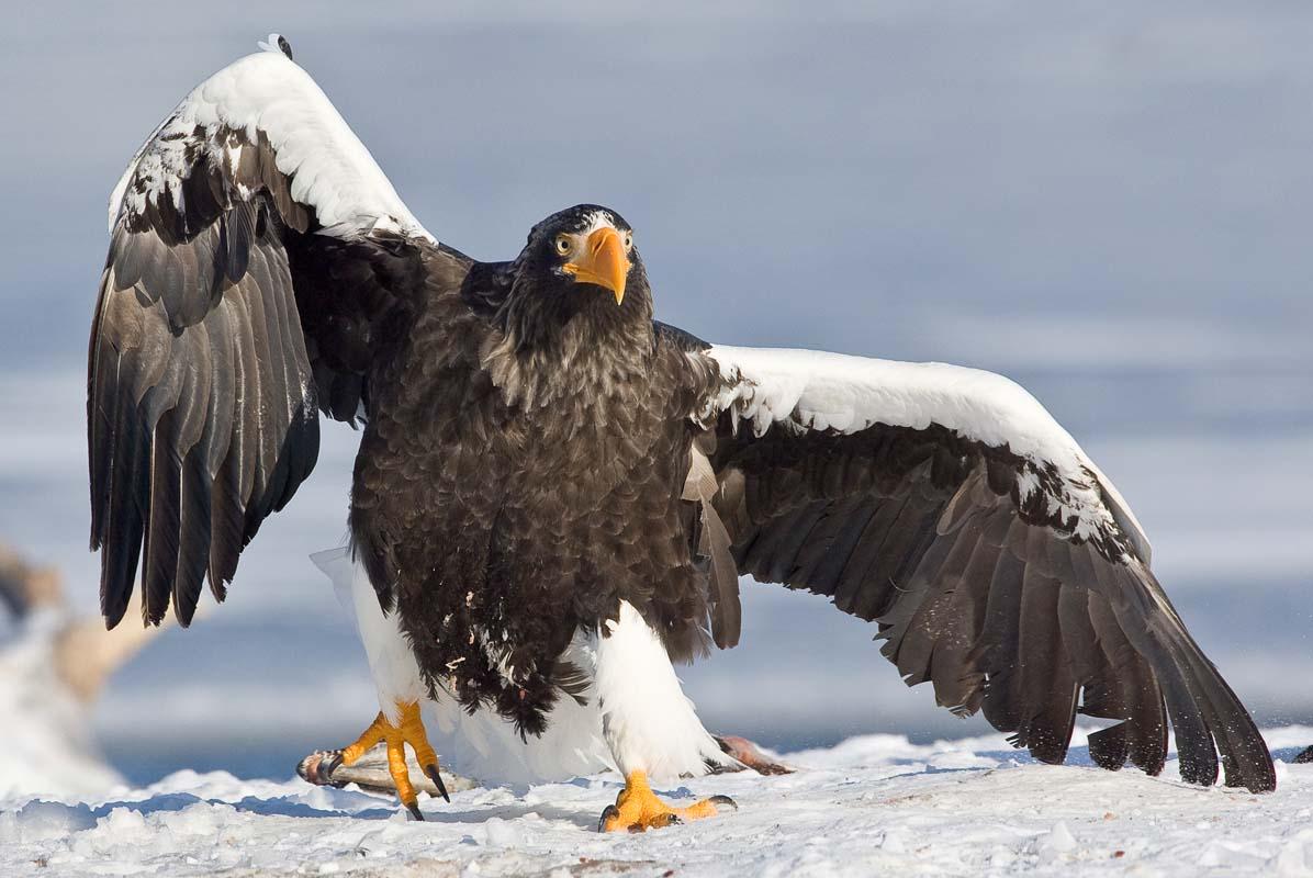 Pictures Birds Eagles animal bird eagle Animals
